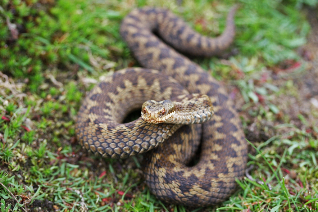 The adder looking with threatening intent to the camera